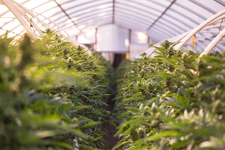 Cannabis plants grow inside a greenhouse.